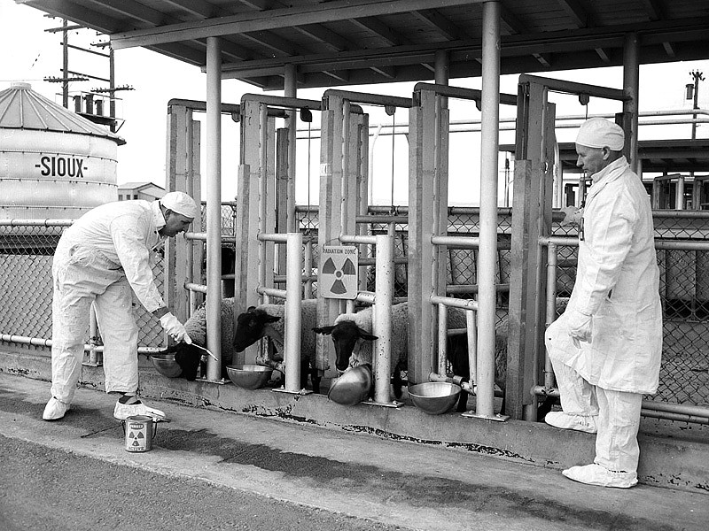 Biologists study the effect of radioactive plutonium on sheep in Hanford, WA
